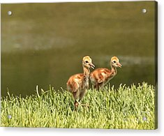 Two Chicks Acrylic Print by Carol Groenen