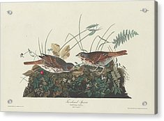 Two-colored Sparrow Acrylic Print by Rob Dreyer