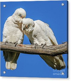 Two Corellas Acrylic Print