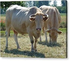 Acrylic Print featuring the photograph Two Cows by Jean Bernard Roussilhe