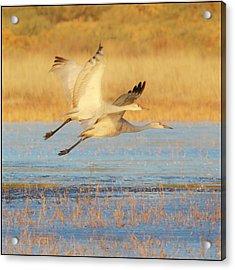 Two Cranes Cruising Acrylic Print