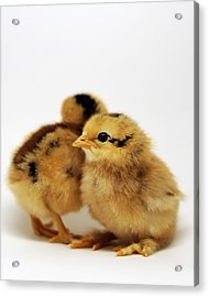 Two Cute Chicks Acrylic Print