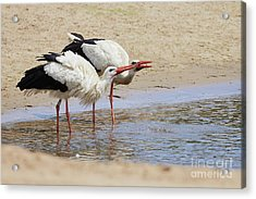 Two Drinking White Storks Acrylic Print