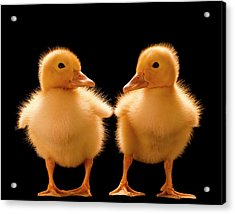Two Ducklings Looking At One Another Acrylic Print by Don Farrall