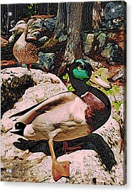 Acrylic Print featuring the photograph Ducks -dynamic Duo by Kathy Kelly