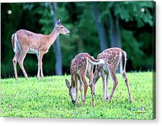 Two Fawns With Doe Acrylic Print