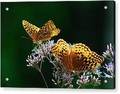 Two Fritillaries Acrylic Print