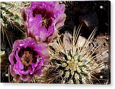 Acrylic Print featuring the photograph Two Fucshia Blossoms  by Phyllis Denton