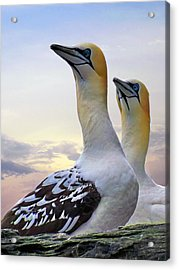 Two Gannets Acrylic Print