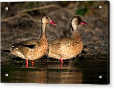 Two Geese Birds, Pantanal Wetlands Acrylic Print by Panoramic Images