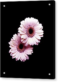 Two Gerberas On Black Acrylic Print