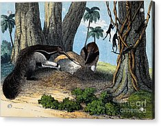 Two Giant Anteaters Feeding On Termites Acrylic Print by Wellcome Images
