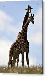 Two Giraffes A Love Story Acrylic Print
