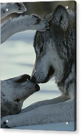 Two Gray Wolves, Canis Lupus, Touch Acrylic Print by Jim And Jamie Dutcher
