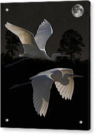 Two Great Egrets In Flight Acrylic Print