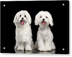 Two Happy White Maltese Dogs Sitting, Looking In Camera Isolated Acrylic Print