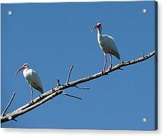 Two Ibis On Perch Acrylic Print