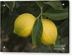 Two Lemons Acrylic Print by Inga Spence