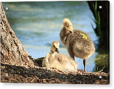 Two Little Goslings Acrylic Print