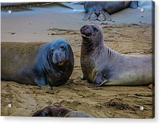 Two Male Elephant Seals Acrylic Print by Garry Gay