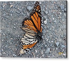 Two Monarchs Aflutter Acrylic Print