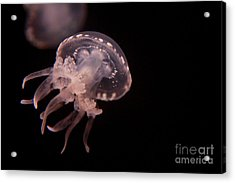 Two Moon Jellies Acrylic Print