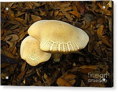 Two Mushrooms Acrylic Print by David Lee Thompson