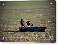 Two Old Buzzards Acrylic Print by Charles Dobbs