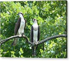 Two On A Limb - Osprey Acrylic Print by Donald C Morgan