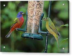 Two Painted Buntings Acrylic Print