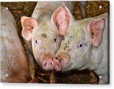 Two Pigs Acrylic Print
