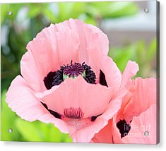 Two Pink Poppies Acrylic Print