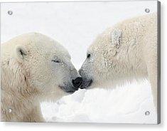 Two Polar Bears Ursus Maritimus Acrylic Print by Richard Wear