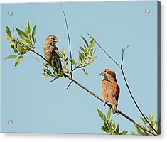 Two Red Crossbills Acrylic Print