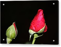 Two Red Rosebuds Acrylic Print by Paula Coley