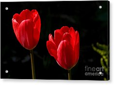 Two Red Tulips Acrylic Print by Steve Augustin