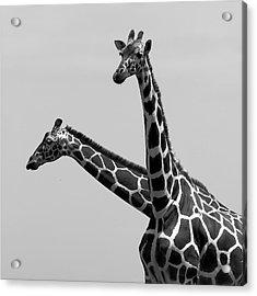 Two Reticulated Giraffes Acrylic Print by Achim Mittler, Frankfurt am Main