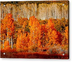 Two Rows Of Aspen Acrylic Print by Marcia Socolik
