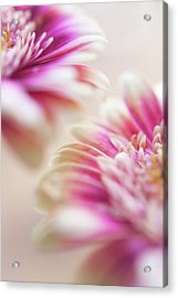 Acrylic Print featuring the photograph Two Souls. Macro Gerbera by Jenny Rainbow