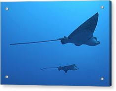 Two Swimming Spotted Eagle Rays Underwater Acrylic Print by Sami Sarkis