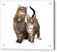 Two Tabby Cats Looking Up Acrylic Print by Susan Schmitz