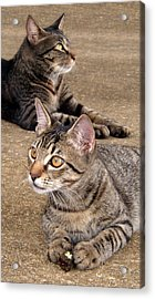 Two Tabby Cats Acrylic Print by Nicole I Hamilton
