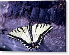 Two Tail Swallowtail Acrylic Print by Chris Gudger