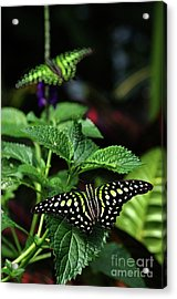 Two Tailed Jay Butterflies- Graphium Agamemnon Acrylic Print