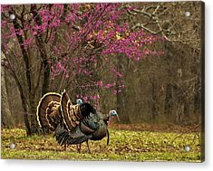 Two Tom Turkey And Redbud Tree Acrylic Print