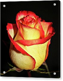 Two Tone Rose Acrylic Print by Cathie Tyler