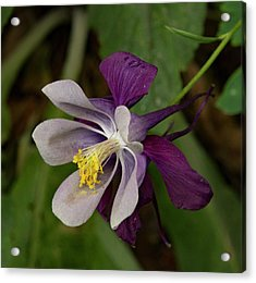 Acrylic Print featuring the photograph Two Toned Columbine by Jean Noren