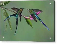 Two Violet-tailed Sylphs In Ecuador Acrylic Print by Juan Carlos Vindas