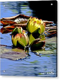 Two Water Lilies Acrylic Print by Carol F Austin