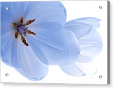 Two White Tulips Acrylic Print by Hideaki Sakurai